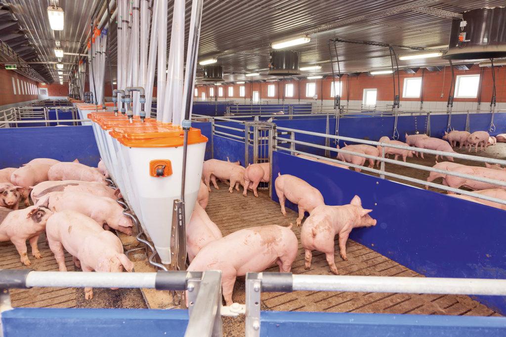 Schweinemast-pig-finishing-Sortierwaage-TriSortpro-2-Big-Dutchman